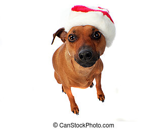 little dog - little min pin wearing a winter hat