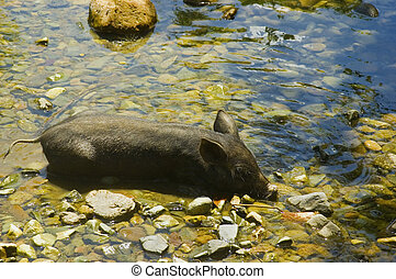 A free range pig taking a dip in the crystal-clear waters of a mountain stream