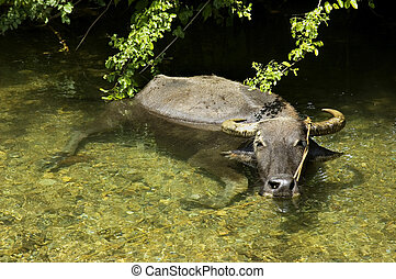 Water buffalo cooling in crystal clear water