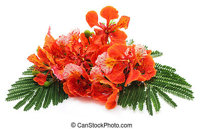 Krishnachura with green leaves - Delonix regia or...