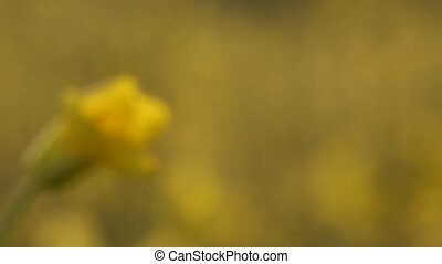 Rapeseed Flowers - Rapeseed flowers brassica napus in a...