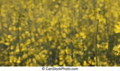 Rapeseed Flowers - Rapeseed flowers (brassica napus) in a...