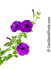 Flower blooming petunia - Flower blooming petunia isolated...