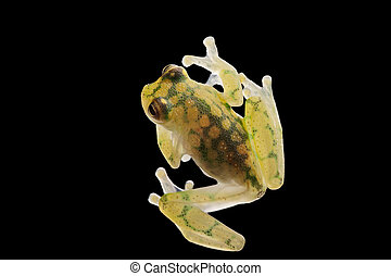 transparent glass frog
