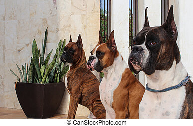 Boxer Dogs - Three purebred Boxer dogs with Brindle and Fawn...
