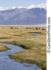 búfalo, rancho