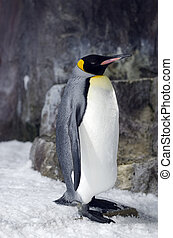 King Penguin - Aptenodytes Patagonicus - King Penguin in its...