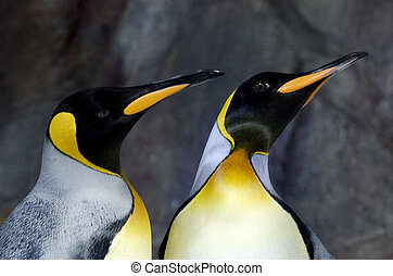 King Penguin - Aptenodytes Patagonicus - Two King Penguin in...