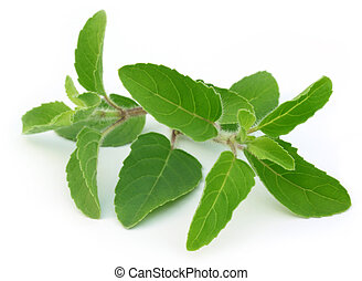 Medicinal holy basil leaves - Medicinal holy basil or tulsi...