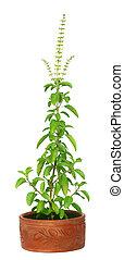 Medicinal holy basil plant - Medicinal holy basil or tulsi...