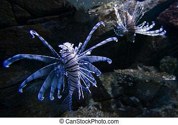 Lionfish - Pterois