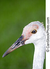A Sand Hill crane clsoeup.
