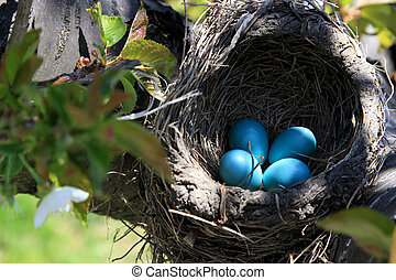 Robin bird nest over the cherry tree horizontal orientation...