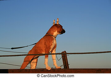 Boxer Puppy - Boxer puppy with cropped ears outside in a...