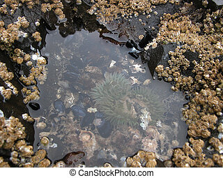 Tidepools - Oregon Coast - Small ocean animals are living in...