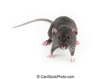 domestic rat isolated on white
