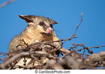 brush tail possum in tree - australian brush tail possum on...