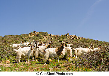 Wild goats - group of goats outdoor in south sardinia