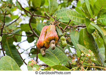Cashew nuts growing on a tree. This extraordinary nut grows...