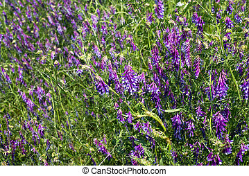 Vicia cracca - Wild flowers on the field, Vicia cracca