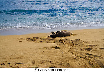 Hawaiian Monk seal - A view of the endangered Hawaiian Monk...