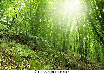 forest - Sunshine in the green forest
