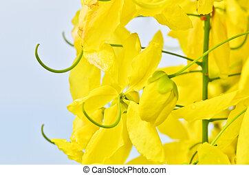 Flowering cassia