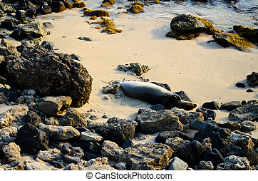 Endangered Monk Seal - The endangered Monk Seal of Hawaii