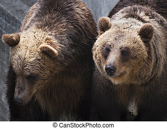 Two brown bears (Ursus arctos arctos) - Two brown bears in...
