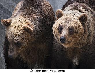 dwa, brązowy, Niedźwiedź, (Ursus, Arctos, arctos)