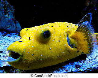 Yellow Blowfish - Yellow blowfish with blue fins in a fish...