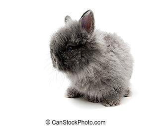 little Angora bunny #2 - little grey Angora bunny isolated