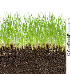green grass in soil isolated on white background
