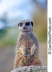 Meerkat sentry - Single Meerkat sentry