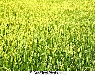Green rice in fields