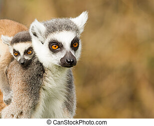 Young Ring-tailed lemur on the back of it's mother