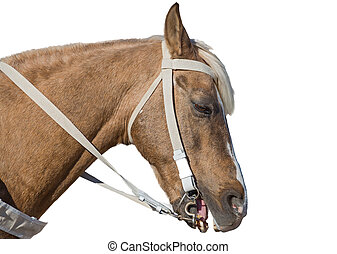 brown horse head isolated on white background
