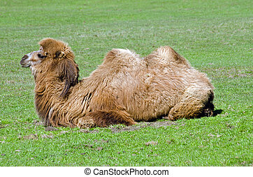 Bactrian Camel lying down