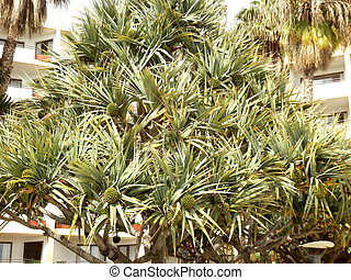 Screwpine aka Pandanus Utilis Bory bearing many fruits