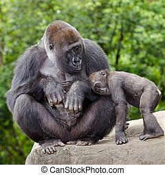 Female gorilla caring for young