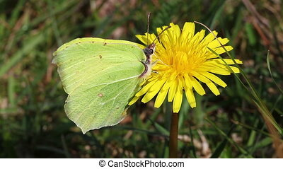 Brimstone - Gonepteryx rhamni - Brimstone when collecting...