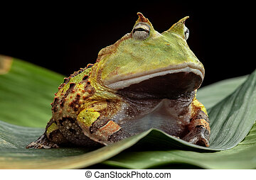pacman frog - Pacman frog or toad, South American horned...