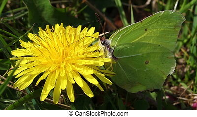 Brimstone - dandelion - ants - Brimstone will collect the...