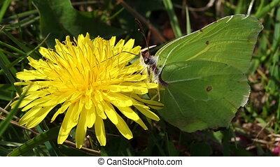Brimstone - dandelion - ants - Brimstone will collect the...