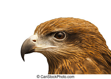 Hawk in isolated white background white clipping part