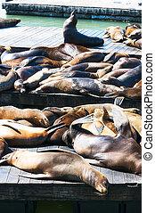 Sea Lions at San francisco,