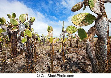 Opuntia cactus foreat at Galapagos island - View of an area...