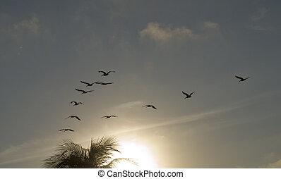 pelícanos, vuelo,  southward