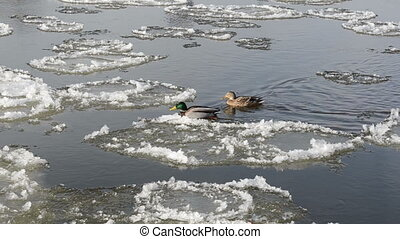ducks pair stream winter