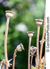 Dry wild poppy